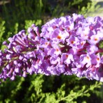 Butterflies Bushes - Buddleias