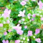 Thyme after Time