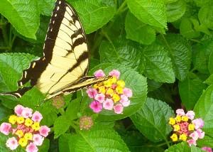 Lantana-Monarch