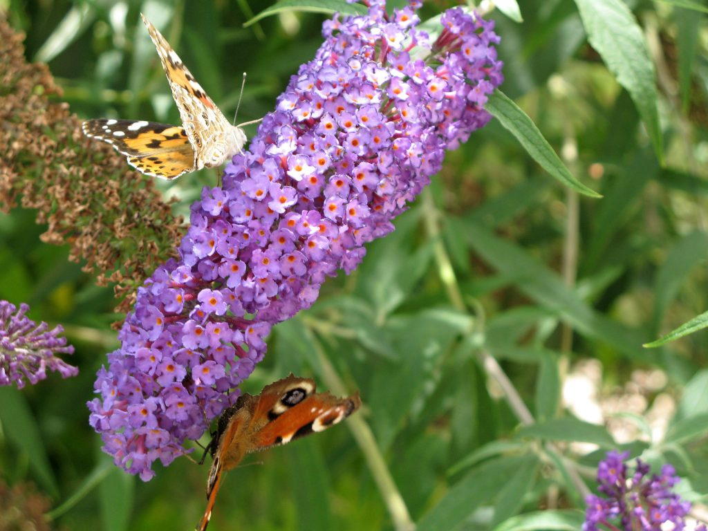 Buddleia ©Attaleiv