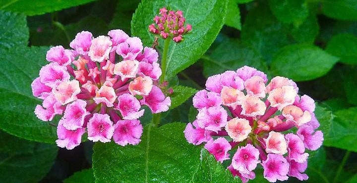 Pink lantana