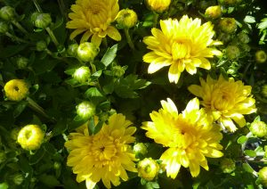 mum-yellow