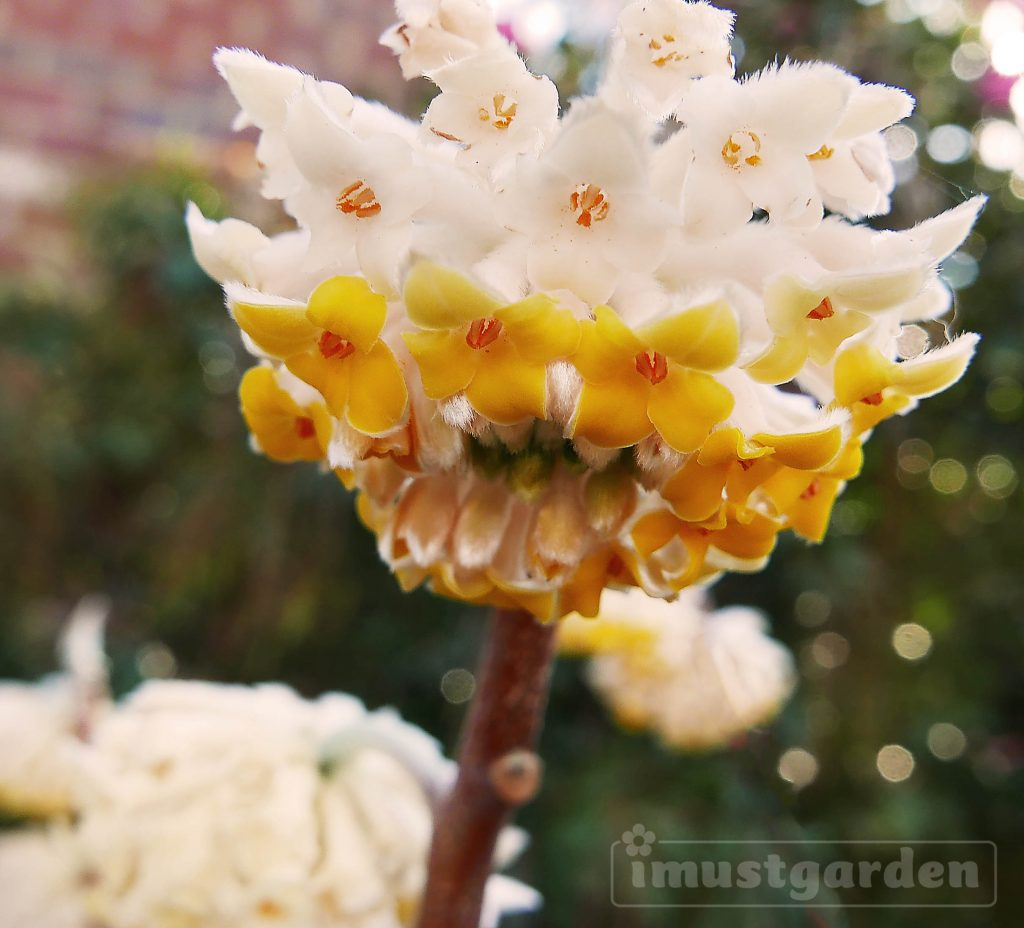 Edgeworthia's fragrant flower