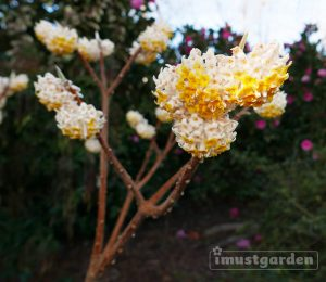 Edgeworthia will grow best in areas with filtered sun or in shade in rich, organic soil and neutral ph