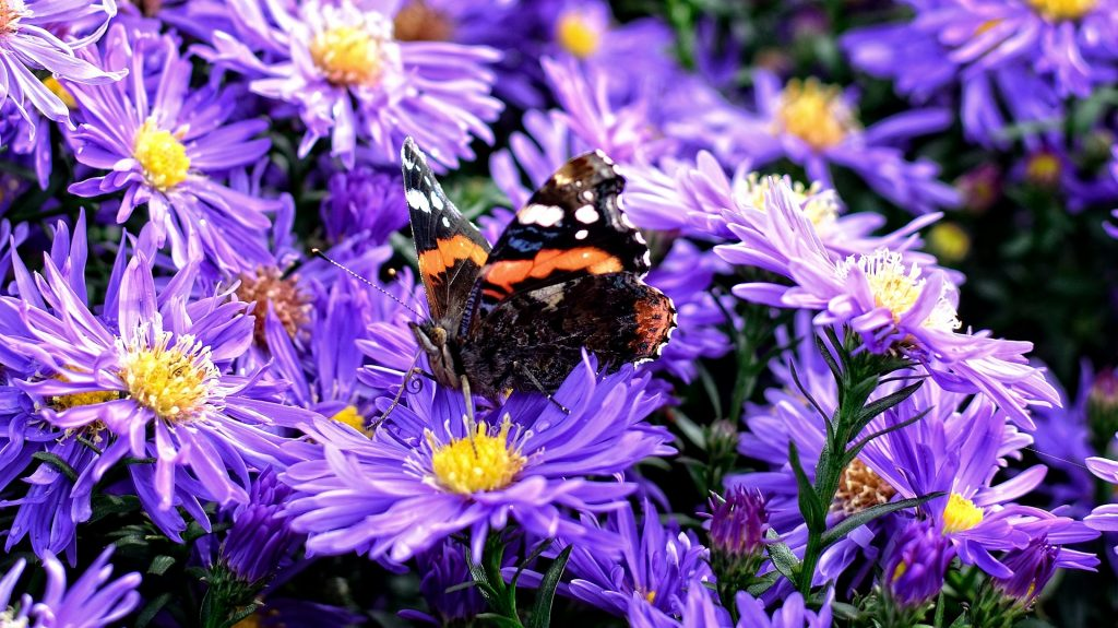 butterflies-love-asters